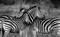 Weiterlesen: Die wunderbare Welt der Zebras